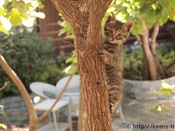 Kitten climbing tree in Lijiang's Shu He Ancient City