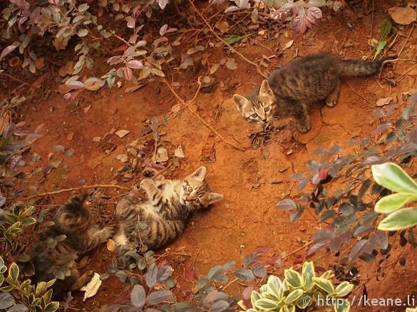 Three cute kittens playing in Shu He Ancient City in Lijiang