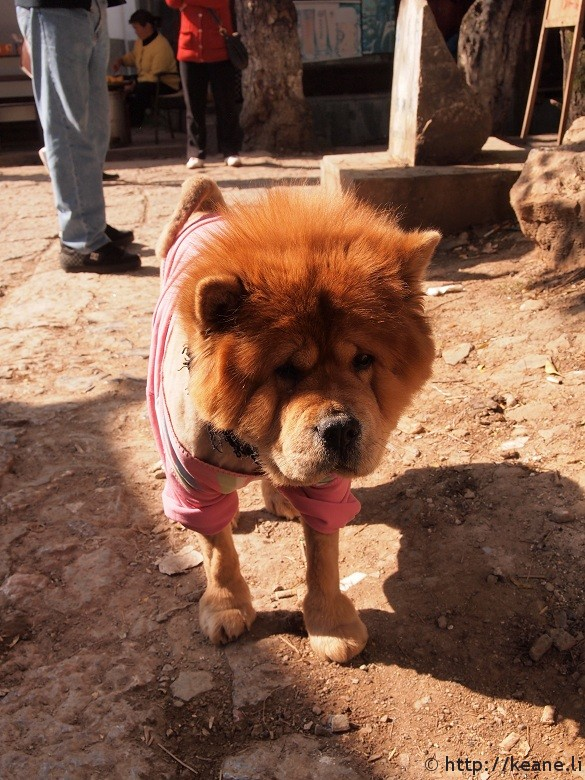 Cute fluffy chow chow in Lijiang's Shu He Ancient City