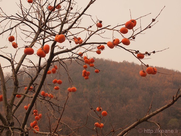 Persimmons in the South Korean Countryside