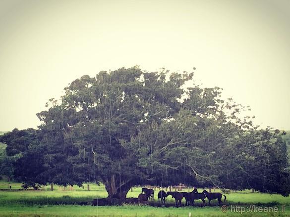 Oahu - Horses in the Rain in Haleiwa